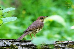 Song thrush (Jurek.P) Tags: birds bird spring ptaki wiosna drozdśpiewak songthrush lasekbielański warsaw warszawa poland polska jurekp sonya77