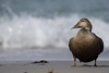 Eider (moments in nature by Antje Schultner) Tags: eider ente waterbird wasservogel wildlife helgoland nordsee strand beach
