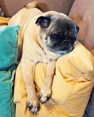 Happy Birthday! (blamstur) Tags: dog pug olive yellow pet blue birthday