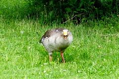 Go Away!!!! (ivlys) Tags: rheingau oestrichwinkel rhein rhine fluss river graugans greygoose vogel bird tier animal natur nature gras grass busch bush ivlys
