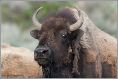 Out with the Old 8284 (maguire33@verizon.net) Tags: bison yellowstone yellowstonenationalpark shedding springtime wildlife wyoming unitedstates us