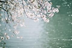 Sakura_2018 (oceanus2007 (***busy***)) Tags: film contax rx contaxrx planar 85mm f14 czplanar1485 kochi shikoku