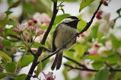 Spring Chickadee (marensr) Tags: black capped chickadee montrose point bird sanctuary tree flowering branch may spring