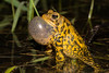 American Toad (scott5024) Tags: american toad calling night time