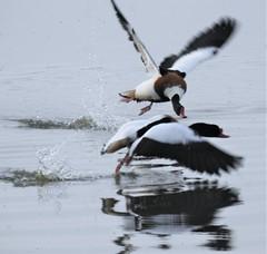 Shelduck Attack - Cresswell (Gilli8888) Tags: nikon p900 coolpix northumberland cresswell cresswellponds water wetlands countryside birds waterbirds ducks shelduck two