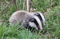 0T4A6567 (2) (Alinbidford) Tags: alancurtis alinbidford badgercubs brandonmarsh nature wildlife