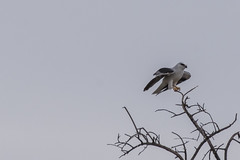 Black shouldered kite (crispiks) Tags: blackshoulderedkite nikon d500 200500 f56 birdlife kremur street boat ramp west albury nsw