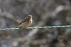 Tree Pipit. (stonefaction) Tags: birds nature wildlife angus scotland tree pipit glens