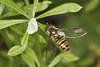 Marmalade Hoverfly - Episyrphus balteatus (Prank F) Tags: glapthorncowpastures wildlifetrust northantsuk wildlife nature insect macro closeup fly hoverfly marmalade episyrphusbalteatus