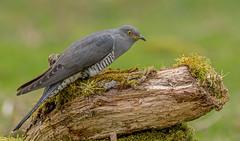 DSC8763  Cuckoo... (jefflack Wildlife&Nature) Tags: cuckoo cuckoos summermigrant parasite birds avian animal animals wildlife wildbirds wetlands woodlands songbirds heathland hedgerows moorland marshland meadows marshes heath countryside nature