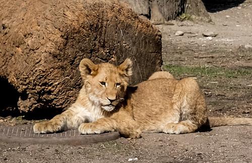 Lion cub in Copenhagen Zoo