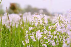 a field with cuckoo-flowers (atsjebosma) Tags: bloemen pinksterbloem cuckooflower bokeh atsjebosma groningen thenetherlands nederland farm field wildflowers spring lente voorjaar april 2018 ngc coth5