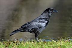 AMERICAN CROW 17 (k.nanney) Tags: americancrow corvusbrachyrhychos crow corvid birds texasbirds texaswildlife joepoollake cedarhillstatepark dallascounty texas nikon d800 tamronsp150600mmf563divcusd kennethnanney kennanney nanney