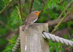 Woodland Wildlife (Adam Swaine) Tags: robinredbreast robins britishbirds englishbirds gardenbirds naturelovers nature uk ukcounties woodland spring wildlife animals beautiful peckhamryepark naturewatcher londonparks canon 2018