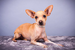 Birdy (Alfred Kirst III) Tags: akiii photography alfred kirst iii chihuahua rescue transport male ak3photography akiiiphotography canon dog dogs planopetphotographer texas chihuahuarescueandtransport foster fosterpuppies longhairchihuahua plano puppies puppy shorthairchihuahua zukepets zukes alfredkirstiii malechihuahua