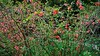 01-DSC05517 (Nowiny z Monachium) Tags: münchen ogródróż rosengarten bäumen giftpflanzen isarauen sträu