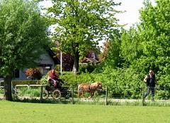 paard en koets (Omroep Zeeland) Tags: paardenkoets