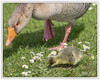 BABY DUCKS AT THE ARKLOW DUCK POND MAY 2018 (philipmaeve12) Tags: select wildlife outdoor arklow duckpond water