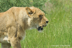 Approaching Lioness (Holfo) Tags: animals kidderminster safaripark wildlife lion lioness nikon nature mammal animal grass d5300