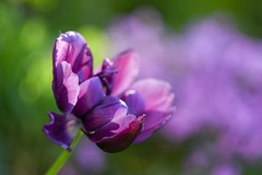 Tulip (agnieszka.a.morawska) Tags: bokeh dof manualfocus manuallens helios helios44m bokehlicious beyondbokeh bkhq spring purple violet tulipan tulip