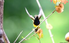 Olive-backed Sunbird (Cinnyris jugularis) (Steve Arena) Tags: baansongnok phetchaburi petchaburi thailandbirding2017 thailand 2017 bird birds birding kaengkrachan olivebackedsunbird cinnyrisjugularis sunbird nikon d750