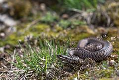 Vipera berus (Tomas_K) Tags: vipera berus adder european slovakia mala fatra rozsutec zmije obecna obecná vretenica viper