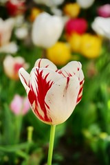 Tulips (Jehan Al-Maghamsi) Tags: park turkey istanbul flowers white red tulips