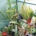 Epiphyllum im Gewächshaus