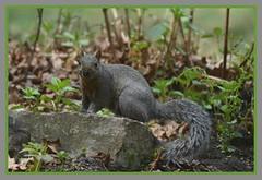 (] Curious Squirrel Cameo [) (Wolverine09J ~ 1.5 Million Views) Tags: shadyoakandspringbrookmay18 graysquirrel smallmammal wildlife uplandforest curious gazing naturecenter springtime minnesota faunafloralandscapes thelooklevel1red thelooklevel2yellow amazingnature thelooklevel3orange wonderfulworldofwildlife
