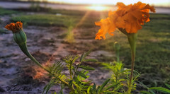 "Good Day ("" Don Quixote "") Tags: flower garden bud rose sun beam ray ورد زهرة شمس شعاع ضوء light"