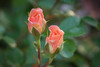 Happy Mother's day! (Pejasar) Tags: roses duo two buds flower bloom blossom beauty mothersday spring tulsa oklahoma nikon d7200