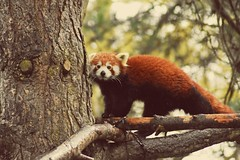 Hi thire (dan487175) Tags: panda redpanda lookingatyou whitestripes furry tree edinburghzoo edinburgh 2018 nikon tamronlens scotland treebranch blackfur redfur cute fun climbing walking wiskers blacknose lookingup suprised zoo dayout holiday trip stripes claws paws leaves branches
