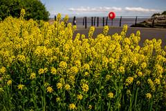 2018 - 05 - 15 - EOS 600D - Rape - Wales Coast Path - Dee Estuary - 000 (s wainwright) Tags: 8 may rape