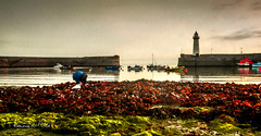 The Dulse Picker (RonnieLMills 5 Million Views. Thank You All :)) Tags: dulse picker seaweed donaghadee lighthouse harbour low tide textured