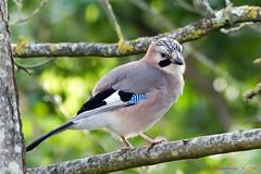 Geai des chênes - Garrulus glandarius (5) (Ezzo33) Tags: france gironde nouvelleaquitaine bordeaux ezzo33 nammour ezzat sony rx10m3 parc jardin oiseau oiseaux bird birds specanimal geai des chênes garrulus glandarius