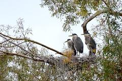 Great Blue Herons (linda m bell) Tags: greatblueheron juvenile nest bonellipark sandimas california 2018 birdwatching socal