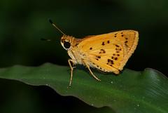 Acada biseriata (zimbart) Tags: africa mozambique coutada12 cheringoma fauna arthropoda insects lepidoptera butterflies rhopalocera hesperiidae acada acadabiseriata specinsect