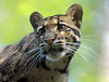 clouded leopard Ouwehands BB2A5586 (j.a.kok) Tags: luipaard leopard nevelpanter panter panther neofelisnebulosa cloudedleopard kat cat animal ouwehands mammal zoogdier dier predator asia azie