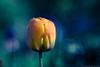 Orange Tulip on Blue-Green (christopherdeacon) Tags: flower garden morning outdoors spring meyeroptik meyeroptiktrioplan meyeroptiktrioplan100mm bokeh dof shallowdof depthoffield tulip orange
