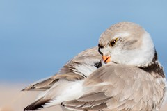 Piping plover (evansmith16) Tags: shorebirds wildlife lakemichigan greatlakes ludingtonmichigan pipingplover 300f4lis 80d canon