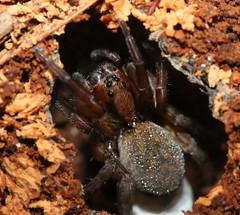 spider cf Trochosa sp lycosidae (BSCG (Badenoch and Strathspey Conservation Group)) Tags: arachnid spider ground deadwood may woodlandedge sw