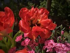 Beautiful Tulip (Sockenhummel) Tags: tulpe tulip flower balkon balcony tulpenstrauss iphone macro rot feuer