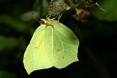 Gonepteryx rhamni (Linnaeus, 1758) = Papilio rhamni Linnaeus, 1758, le citron. (chug14) Tags: unlimitedphotos macro insecte papillon butterfly animalia arthropoda hexapoda insecta lepidoptera pieridae coliadinae gonepterygini citron papiliorhamni gonepteryxrhamni