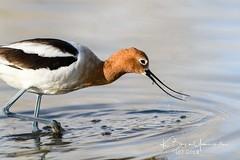 DSC_9762 (bryce yamashita) Tags: avocet belmar belmarpark bird d850 lakewood nature nikon wildlife yamashita