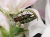Anthaxia nitidula mf (terraincognita96) Tags: g buprestidae