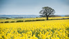 Somebody spilled the summer colours! (bharathputtur122) Tags: rapeseed yellow spill fields countryside oxfordshire great haseley british summer colourful vibrant exuberance tree compo