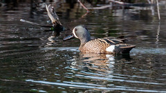 IMG_8794 (brian.a.stamper) Tags: bird bluewingedteal anasdiscors
