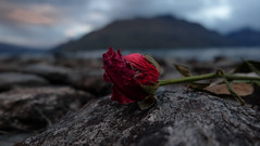 Nothing Rose Can Stay (MrTheEdge7) Tags: newzealand queenstown lake water lakewakatipu maori travel paradise sunset waves splash red blue shore rose flower clouds cloud rock rocks stone beach kiwi mountain mountains southisland theshire