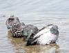 Gang (Z!SL) Tags: pigeon birds bird fauna animals animal water lake prospectpark brooklyn newyorkcity newyork ny nyc sonyphotographing sony selp18105g nature urbannature a6300 ilce6300 sonyflickraward wildlife