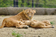EOS 6D Mark II_0648 (Dave Melling) Tags: brno zoo lion lioness panthera leo feeding young baby cub
